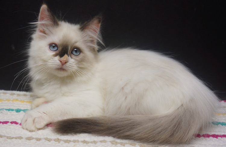 0edf2bab36 tortoiseshell ragdoll kitten for sale in texas