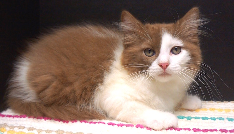 b6cef524d6 solid cinnamon ragdoll kitten for sale