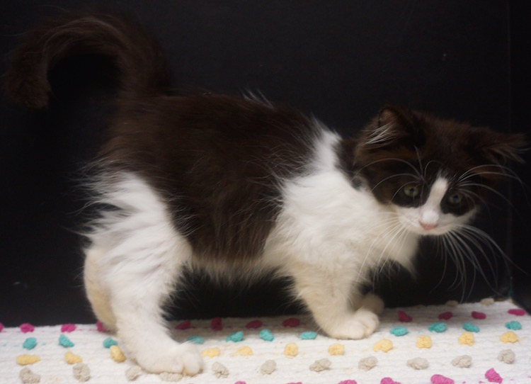 12abcfcbb1 black bicolour ragdoll male austin texas. black ragdoll male kitten for sale  Texas