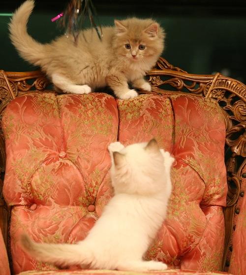 Cinnamon Point U0026 Fawn Ragdoll Kittens