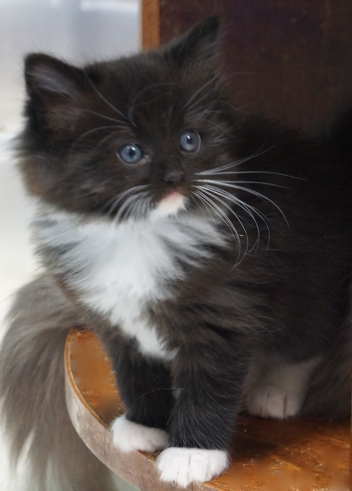 Can ragdoll cats be black and white