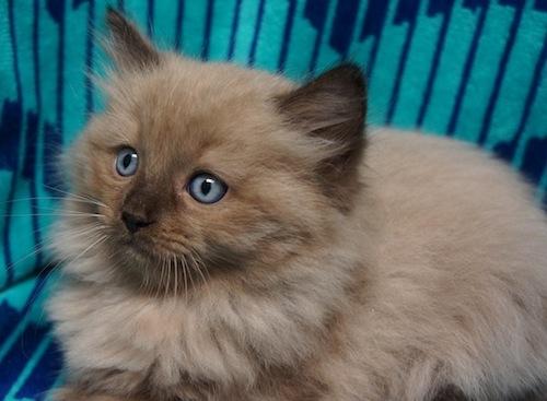 Ragdoll cats for sale in san antonio texas