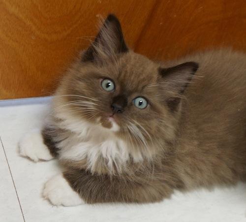 Sepia Mitted Ragdoll Kitten